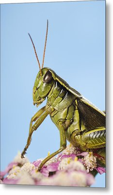 Grasshopper Close-up Metal Print by Thomas Kitchin & Victoria Hurst