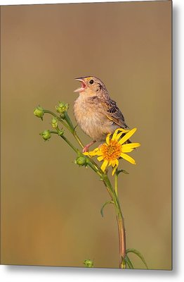Grasshopper Sparrow Singing Metal Print