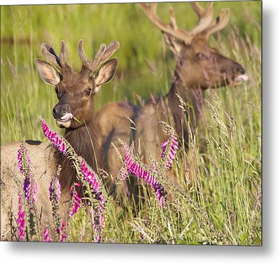 Metal Print featuring the photograph Grazing At Dusk by Todd Kreuter