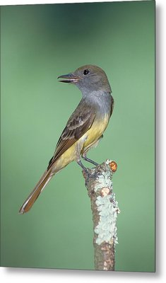 Great Crested Flycatcher Myiarchus Metal Print