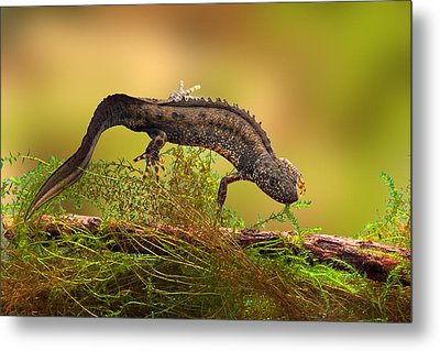 Great Crested New Or Water Dragon Metal Print by Dirk Ercken