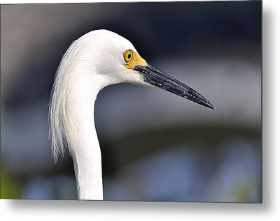 Great Egret Metal Print by Andres LaBrada