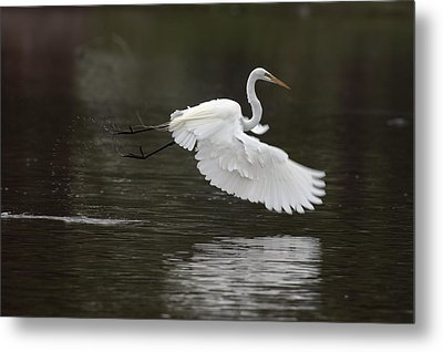Great Egret Takeoff Metal Print by Gary Langley
