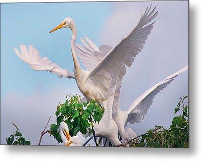 Great Egrets Parents And Young (ardea Metal Print