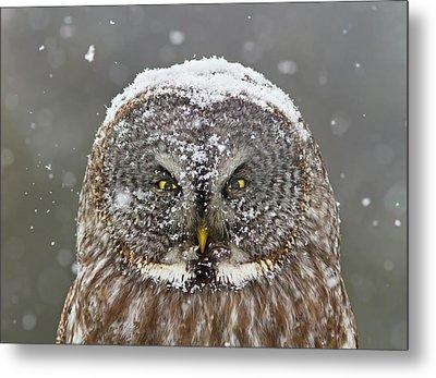 Great Grey Owl Winter Portrait Metal Print