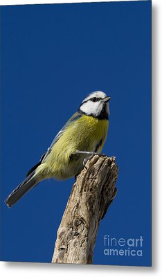 Great Tit On Blue Metal Print by Maurizio Bacciarini