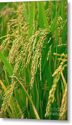 Green Beautiful Rice Farming Metal Print by Boon Mee
