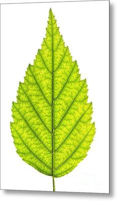 Green Tree Leaf Metal Print by Elena Elisseeva