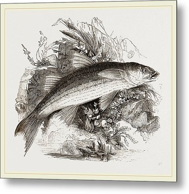 Grey Mullet Metal Print by Litz Collection