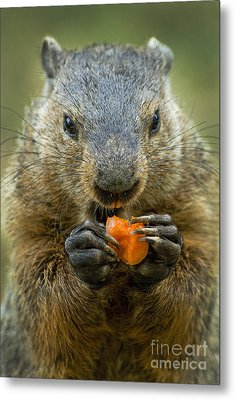 Groundhogs Favorite Snack Metal Print by Paul W Faust -  Impressions of Light