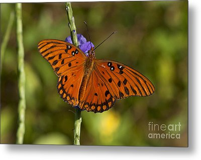 Metal Print featuring the photograph Gulf Fritillary Butterfly by Meg Rousher