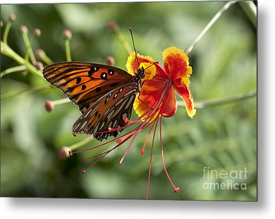 Metal Print featuring the photograph Gulf Fritillary Photo by Meg Rousher