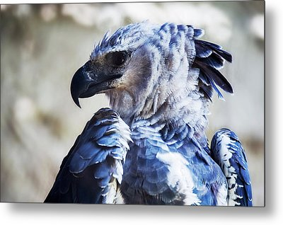 Harpy Eagle Harpia Harpyja Metal Print by Leonardo Mer�on