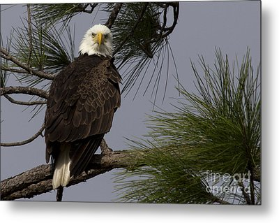 Harriet The Bald Eagle Metal Print