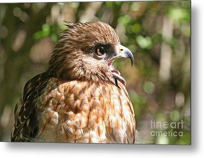 Hawk With An Attitude Metal Print