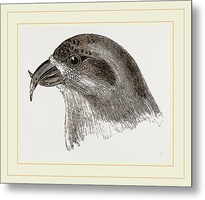 Head Of Crossbill Metal Print by Litz Collection