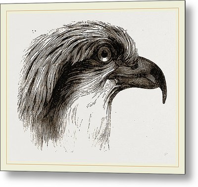 Head  Of Osprey Metal Print by Litz Collection