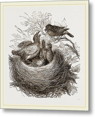 Hedge-sparrows And Cuckoo Metal Print by Litz Collection