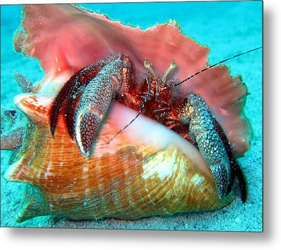 Hermit Crab Caribbean Sea Metal Print by Laura Hiesinger