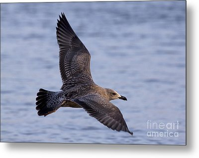 Metal Print featuring the photograph Herring Gull In Flight Photo by Meg Rousher