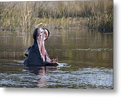 Metal Print featuring the photograph Hippo Yawning by Liz Leyden