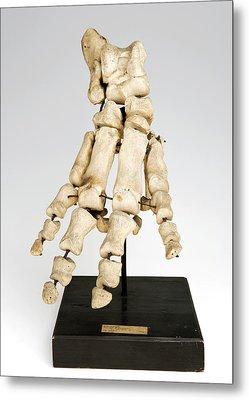 Hippopotamus Foot Bones Metal Print