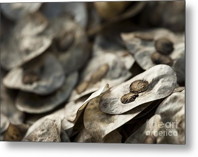 Honesty Seeds Metal Print by Anne Gilbert
