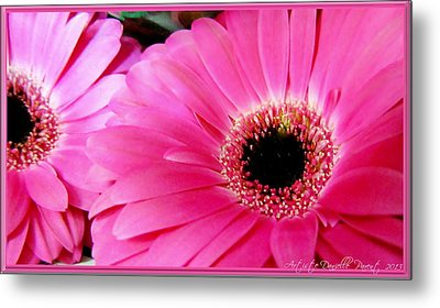 Hot Pink Gerber Daisies Macro Metal Print by Danielle  Parent
