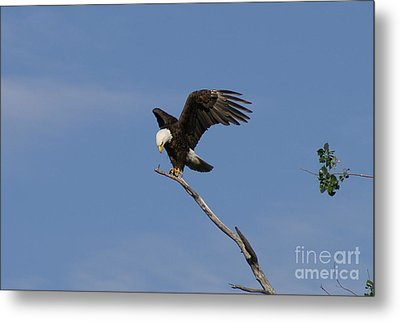 How My Claws Metal Print by Lori Tordsen