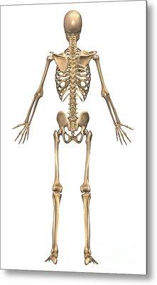 Human Skeletal System, Back View Metal Print by Stocktrek Images