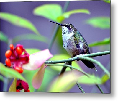 Hummingbird Metal Print by Deena Stoddard