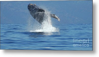 Humpback Whale Breaching Metal Print by Bob Christopher