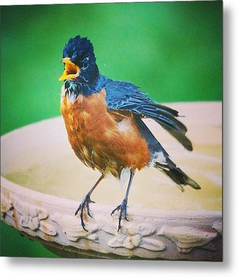 Bathing Robin Metal Print