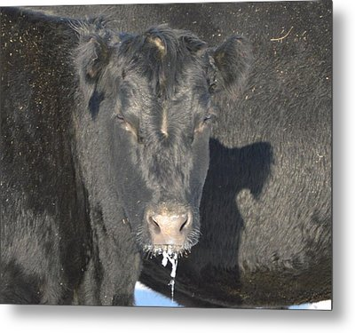 Iced Beef Metal Print by Bonfire Photography
