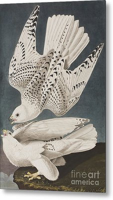 Illustration From Birds Of America Metal Print by John James Audubon
