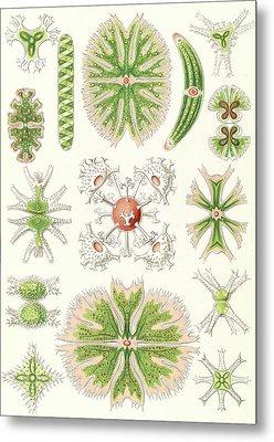 Illustration Shows Algae. Desmidiea. - Bierdinge Metal Print by Artokoloro