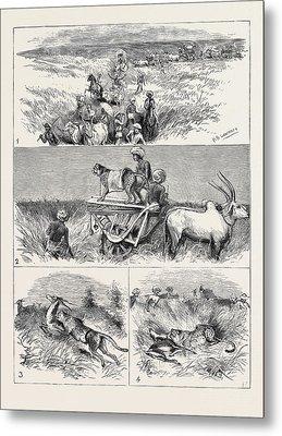 India, Hunting Black Buck With The Cheetah In Baroda 1 Metal Print by Indian School