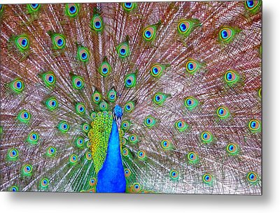 Metal Print featuring the photograph Indian Peacock by Deena Stoddard