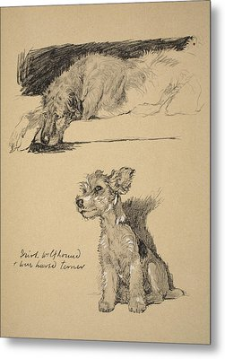 Irish Wolfhound And Wire Haired Terrier Metal Print by Cecil Charles Windsor Aldin