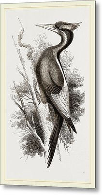 Ivory-billed Woodpecker Metal Print by Litz Collection