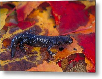 Jefferson Salamander Metal Print