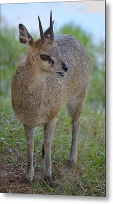 Klipspringer Metal Print by Richard Bryce and Family