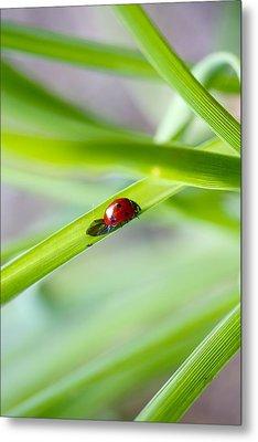 Lady Bug Climbing A Blade Of Grass Metal Print by Jennifer Lamanca Kaufman