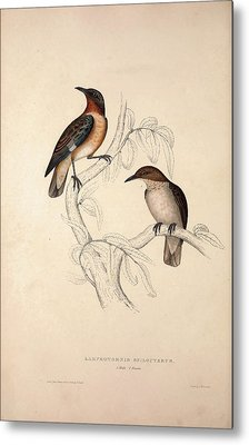 Lamprotornis Spilopterus, Winged Starling. Birds Metal Print by Quint Lox