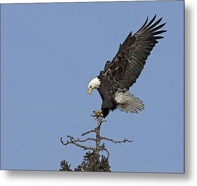 Landing Eagle- Abstract Metal Print