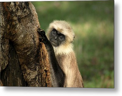 Metal Print featuring the photograph Langur - Hanuman Langur by Ramabhadran Thirupattur