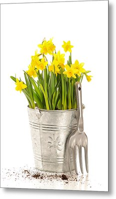 Large Bucket Of Daffodils Metal Print by Amanda Elwell