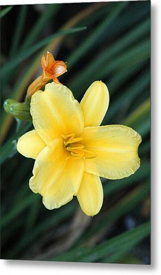 Late Summer Lily Metal Print by James Hammen
