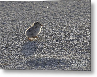 Least Tern Chick Metal Print