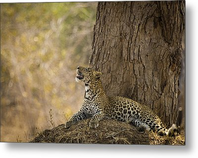 Leopard Gazing Up Metal Print by Alison Buttigieg